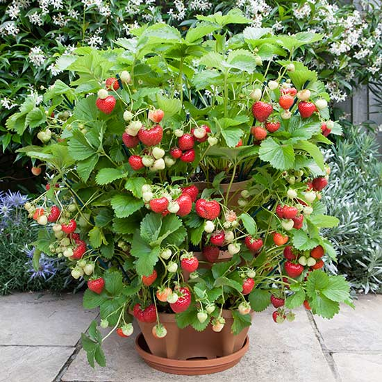 6 Best Strawberry Planters   Grow Green Food