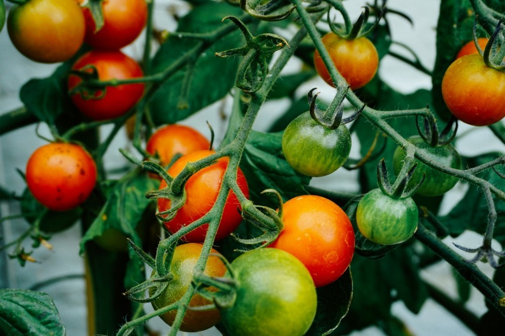 Stop Blossom End Rot in Tomatoes
